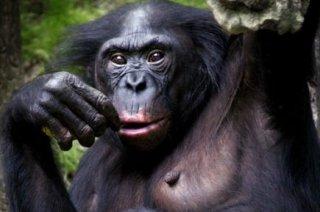 151158-femelle-bonobo