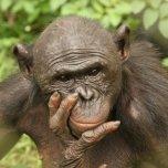 A_Bonobo_Monkey___Congo_by_nabilhijjawi