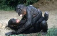 3648 L'Ange des Bonobos