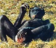 bonobo-1