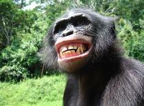 bonobo-2