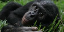 bonobo-29.718.360.c