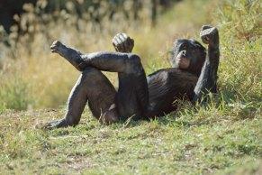 Bonobo-Apes-A-male-bonobo-007
