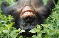 bonobo_02