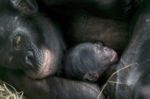 bonobo_08