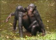bonobosex