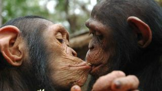 chimpkiss_1