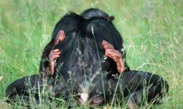 Pygmy-chimpanzees-mating-007