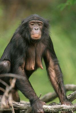 Z9120222-Female_Bonobo-SPL