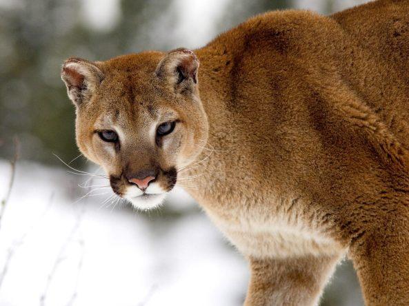 fonds-ecrans-cougar-big